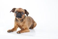 Perro pequeno del brabancon Imagen de archivo libre de regalías