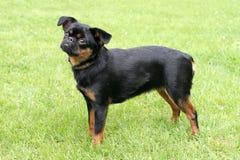 Perro pequeno negro de Brabancon Foto de archivo