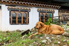 Perro perdido de Brown que descansa sobre el piso cerca de un edificio en un pueblo butanés Fotos de archivo