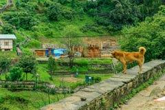 Perro perdido de Brown que mira un edificio en un pequeño pueblo butanés Foto de archivo libre de regalías