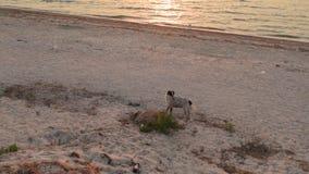 Perro perdido de la raza mezclada sin hogar que camina en la playa cerca del mar metrajes
