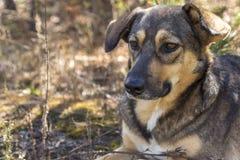 Perro perdido en el bosque, hambriento y cansado Fotos de archivo libres de regalías