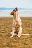 Perro perdido en la playa Imágenes de archivo libres de regalías