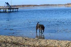 Perro perdido en la superficie congelada del lago en invierno Extracto, helada fotos de archivo libres de regalías