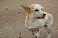 Perro perdido mojado y sucio Fotografía de archivo