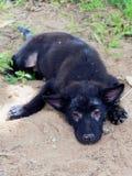 Perro perdido o perrito negro de Oung con la demostración de la lepra sin pelo alrededor de sus ojos y piernas que mienten en la  Fotos de archivo libres de regalías