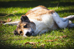 Perro perdido que descansa sobre la hierba fotografía de archivo libre de regalías