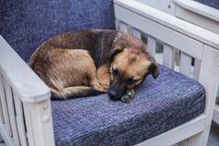 Perro perdido que duerme en una silla en una cafetería Fotos de archivo