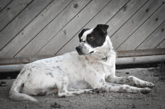 Perro perdido que miente en el camino de tierra Fotografía de archivo