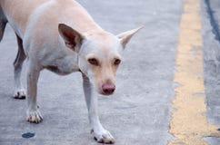 Perro perdido que mira caminar triste hacia cámara imagen de archivo