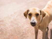 Perro perdido tailandés Solamente comida que espera de la vida para en la calle en Tailandia fotografía de archivo