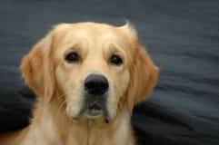 Perro perdiguero Fotos de archivo