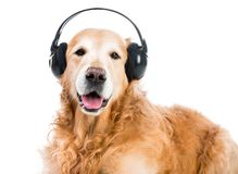Perro perdiguero con los auriculares Foto de archivo