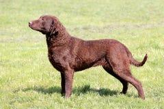 Perro perdiguero de bahía de Chesapeake típico en el jardín Imagen de archivo