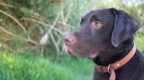 Perro perdiguero de Brown Labrador Foto de archivo libre de regalías