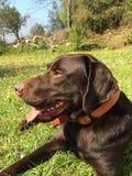 Perro perdiguero de Brown Labrador Fotografía de archivo