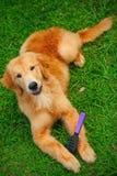 Perro perdiguero de Golen del perro Fotos de archivo libres de regalías