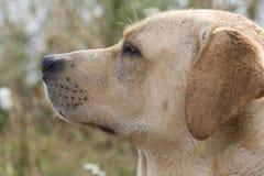 Perro perdiguero de Labrador Fotos de archivo libres de regalías
