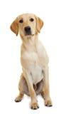 Perro perdiguero de Labrador Fotos de archivo