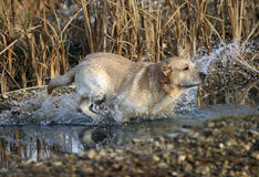 Perro perdiguero de Labrador imagen de archivo libre de regalías