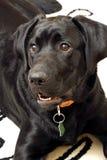 Perro perdiguero de Labrador. Foto de archivo libre de regalías