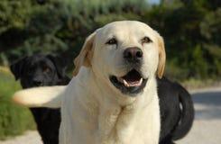 Perro perdiguero de Labrador Imagenes de archivo