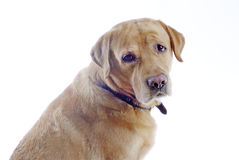 Perro perdiguero de Labrador amarillo Foto de archivo