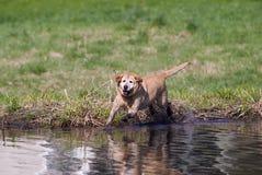 Perro perdiguero de Labrador amarillo foto de archivo libre de regalías