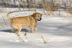 Perro perdiguero de Labrador amarillo imagen de archivo