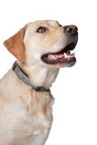Perro perdiguero de Labrador amarillo Fotografía de archivo