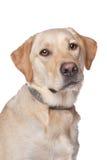 Perro perdiguero de Labrador amarillo Fotografía de archivo libre de regalías