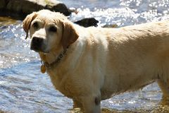 Perro perdiguero de Labrador amarillo Fotos de archivo libres de regalías
