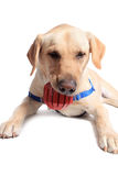 Perro perdiguero de Labrador amarillo Fotos de archivo