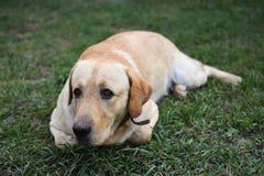 Perro perdiguero de Labrador amarillo Imágenes de archivo libres de regalías