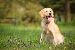 Perro perdiguero de Labrador amarillo en el parque Imágenes de archivo libres de regalías