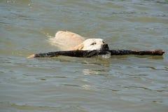 Perro perdiguero de Labrador amarillo en el río Imagenes de archivo