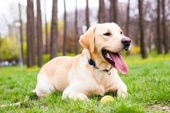 Perro perdiguero de Labrador bonito Imagen de archivo libre de regalías