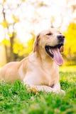 Perro perdiguero de Labrador bonito Fotografía de archivo libre de regalías