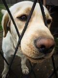 Perro perdiguero de Labrador bonito Foto de archivo