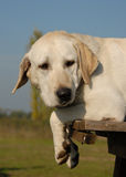Perro perdiguero de Labrador cansado Imagen de archivo libre de regalías
