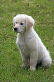 Perro perdiguero de Labrador de oro Fotos de archivo