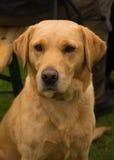 Perro perdiguero de Labrador de oro Foto de archivo