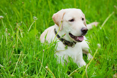 Perro perdiguero de Labrador de reclinación Imágenes de archivo libres de regalías