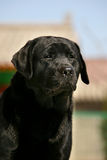 Perro perdiguero de Labrador del animal doméstico del perro fotografía de archivo
