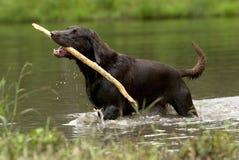 Perro perdiguero de Labrador del chocolate imagenes de archivo