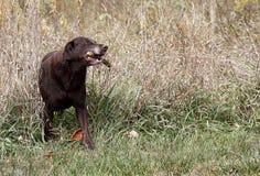 Perro perdiguero de Labrador del chocolate Imágenes de archivo libres de regalías