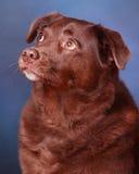 Perro perdiguero de Labrador del chocolate Imagen de archivo libre de regalías