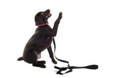Perro perdiguero de Labrador del chocolate Fotos de archivo