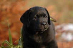 Perro perdiguero de Labrador del perrito Fotografía de archivo