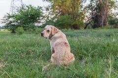 Perro perdiguero de Labrador en el campo Fotos de archivo libres de regalías
